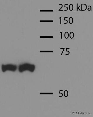 Western blot - Anti-Hsp70 [3A3] antibody (ab5439)