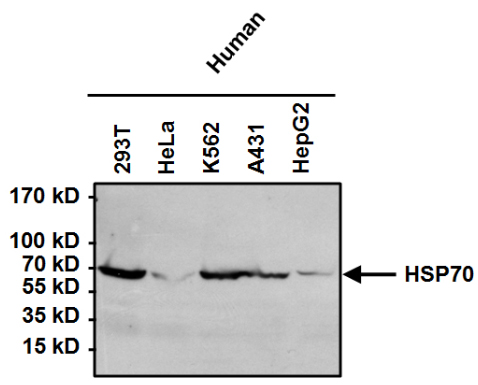 Western blot - Anti-Hsp70 [4G4] antibody (ab5444)