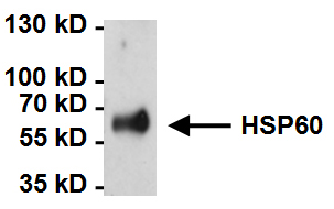 Immunoprecipitation - Anti-Hsp60 [2E1/53] antibody (ab5479)