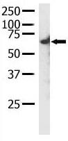 Western blot - Anti-RYK antibody (ab5518)