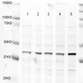 Western blot - Anti-alpha smooth muscle Actin antibody (ab5694)