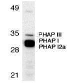Western blot - Anti-PHAP antibody (ab5989)