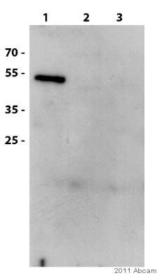 Western blot - Anti-PAX3 antibody (ab50193)