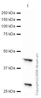Western blot - Anti-Adiponectin Receptor 1 antibody [mAbcam50675] (ab50675)