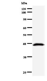 Western blot - Anti-DMTF1 antibody [DMTF5I250] (ab50770)