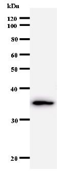 Western blot - Anti-GTF2A1 antibody [708C4a] (ab50821)