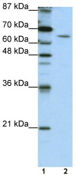 Western blot - Anti-Staufen antibody (ab50914)