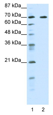 Western blot - Anti-ILF1 antibody (ab50946)