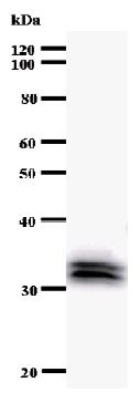 Western blot - Anti-GAS41 antibody [YEATB1A8] (ab50963)