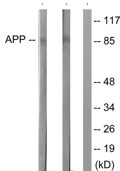 Western blot - Anti-Amyloid Precursor Protein antibody (ab51135)