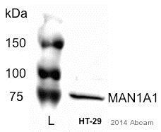 Western blot - Anti-alpha 1,2 Mannosidase IA antibody (ab51262)
