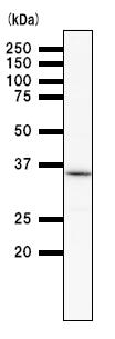 Western blot - Anti-Pirin antibody [2740C2] (ab51360)