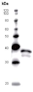 Western blot - Anti-Pygopus 2 antibody [PYGAD53A] (ab51367)