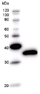 Western blot - Anti-RBPJK antibody [RPBS3D18] (ab51371)