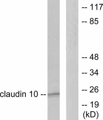 Western blot - Anti-Claudin 10 antibody (ab52234)