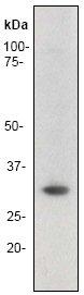 Western blot - Anti-Cyclin D3 antibody [EP463E] (ab52598)