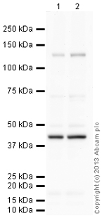 Western blot - Anti-beta Actin antibody [EP1123Y] (ab52614)