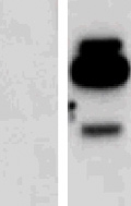 Western blot - Anti-Interferon gamma antibody (ab52671)