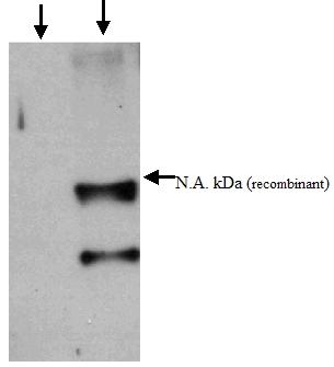 Western blot - Anti-SARS M antibody (ab52686)