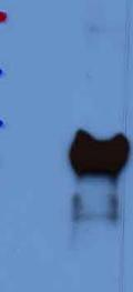 Western blot - Anti-YAP1 antibody (ab52708)