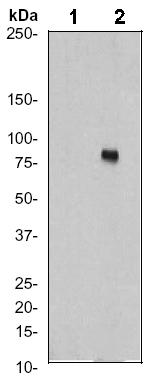 Western blot - Anti-Ezrin (phospho Y353) antibody [EP925Y] (ab52916)