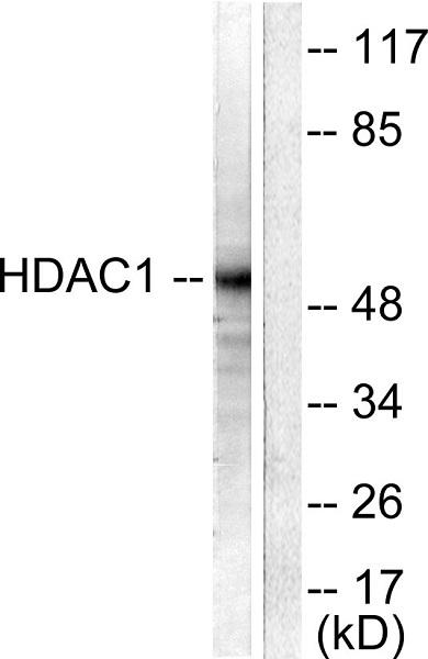 Western blot - Anti-HDAC1 antibody (ab53091)