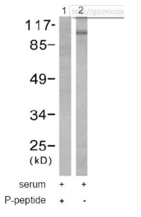 Western blot - Anti-EEF2 (phospho T56) antibody (ab53114)
