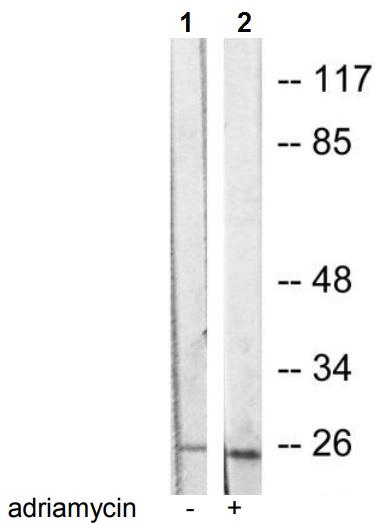 Western blot - Anti-Caspase-1 antibody (ab53175)