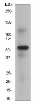 Western blot - HSF4 antibody [EP1719Y] (ab53291)
