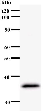 Western blot - Anti-Host cell factor C2 antibody [192D3a] (ab54280)