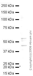 Western blot - Anti-RILP antibody (ab54559)