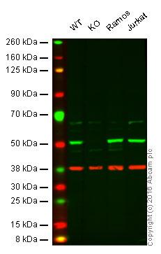 Western blot - Anti-CSK antibody (ab54684)