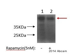 Western blot - Anti-CEBP gamma antibody (ab54899)