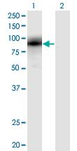 Western blot - Anti-Egr1 antibody (ab54966)