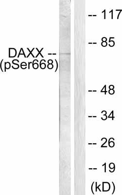 Western blot - Anti-Daxx (phospho S668) antibody (ab55323)