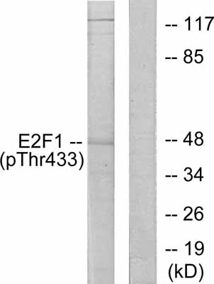 Western blot - Anti-E2F1 (phospho T433) antibody (ab55325)