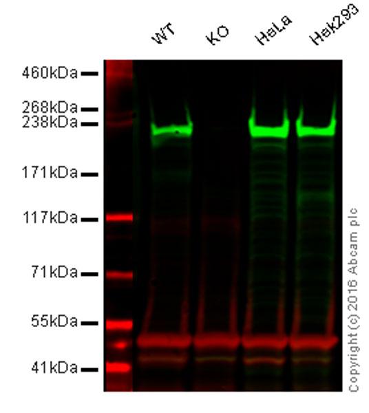 Western blot - Anti-non-muscle Myosin IIA antibody (ab55456)
