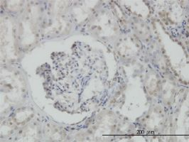 Immunohistochemistry (Formalin/PFA-fixed paraffin-embedded sections) - MPG antibody (ab55461)