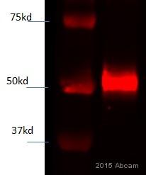 Western blot - Anti-NRF1 antibody (ab55744)