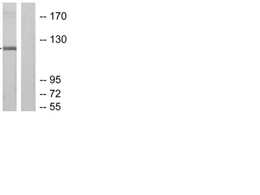 Western blot - Anti-Ribonuclease H2, subunit A antibody (ab55990)
