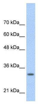 Western blot - Anti-MafB antibody (ab56242)