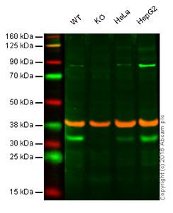 Western blot - Anti-EIF4EL3 antibody (ab56637)