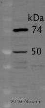Western blot - Anti-Dynamitin antibody (ab56687)
