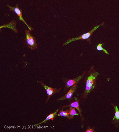 Immunocytochemistry/ Immunofluorescence - Anti-CNAP1 antibody (ab56885)