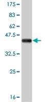 Western blot - RAX antibody (ab57183)