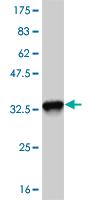 Western blot - EFHD1 antibody (ab57818)