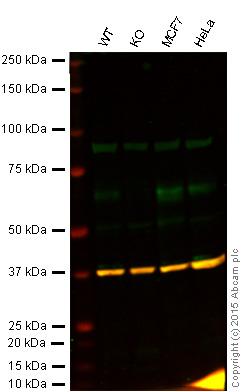 Western blot - Anti-AMPK alpha 1 antibody (ab58166)