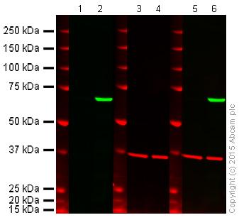 Western blot - Anti-PKR antibody (ab58301)