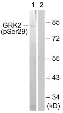 Western blot - Anti-GRK2 (phospho S29) antibody (ab58520)