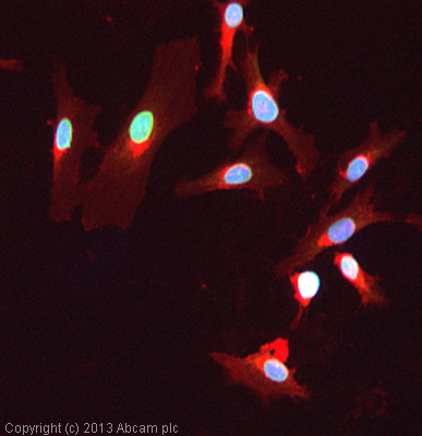 Immunocytochemistry/ Immunofluorescence - Anti-Lamin A + C antibody (ab58529)